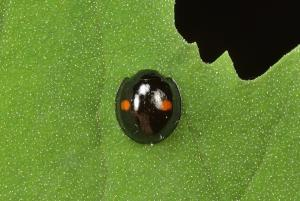 [The story of predator] 8. Red-spotted black lady beetle