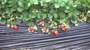 Secret of high-yield strawberry